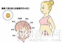 一张胎儿图告诉你 怀孕三个月肚子究竟有多大?
