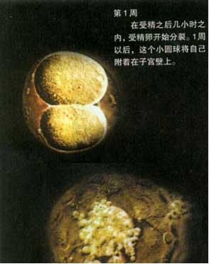 怀孕一个月胎儿图_胎儿发育过程实拍 怀孕一个月胎儿发育过程(图)(3) - 妈妈育儿网
