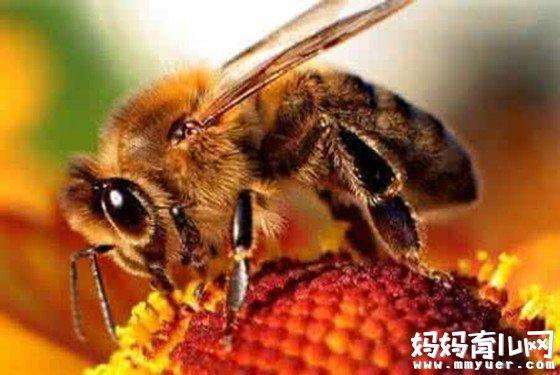 被蜜蜂蛰了怎么处理的急救小常识 蜜蜂蛰消肿的最快方法