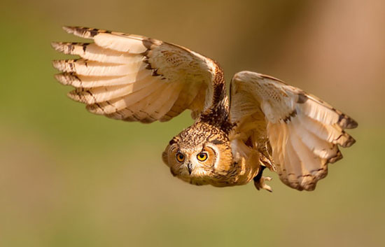 猫头鹰吃什么食物 猫头鹰可以作为宠物养吗