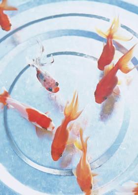 托班科学教案《小金鱼》 了解金鱼的特征