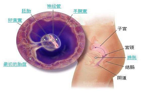 史上最详细的胎儿发育过程每周详情(0-40周)
