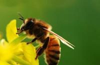 蜜蜂蛰消肿的最快方法 这些方法百用百灵