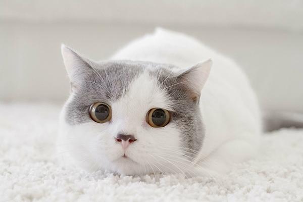 孕妇养猫注意事项_孕期可以养猫吗 医生认为猫和孕妇可共存但有3条件